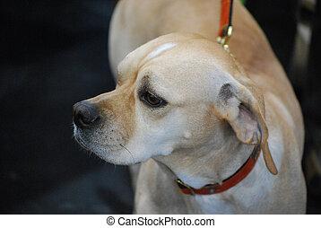 Portuguese Pointer Dog on a Leash