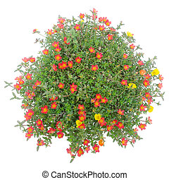 Portulaca flower in pot isolated on white background -...