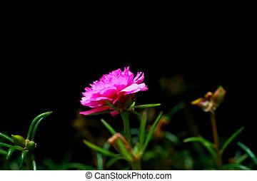 portulaca flower