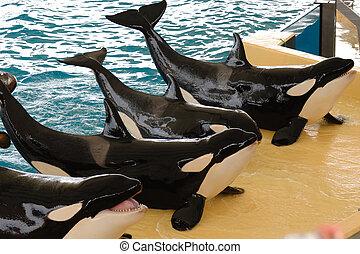 posar, killerwhales