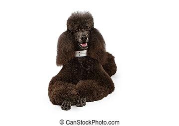 pose, chien, norme, bas, noir, caniche