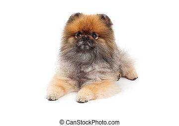 pose, pomeranian, chien, attentif
