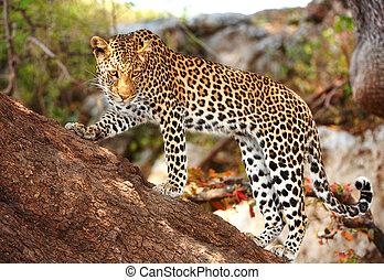 posición, árbol, leopardo