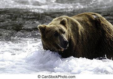 posición, agua, oso pardo, grande, oso