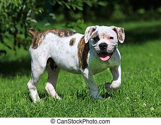 posición, bulldog, norteamericano, pasto o césped