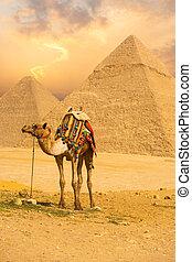 posición, camello, v, atado, pirámides, frente