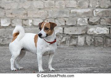 posición, edificio, viejo, russell, gris, pared, perro, arruinado, gato, plano de fondo, ladrillo, terrier