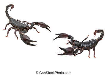 posición, escorpión, negro, combate