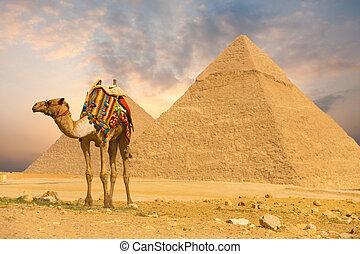posición, frente, h, camello, pirámides