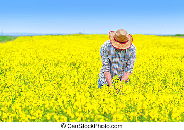 posición, granjero, oilseed, campo, rapeseed, cultivado,...