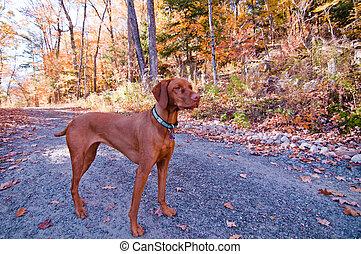 posición, otoño, perro, camino, vizsla