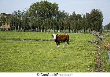 posición, pasto o césped, vaca