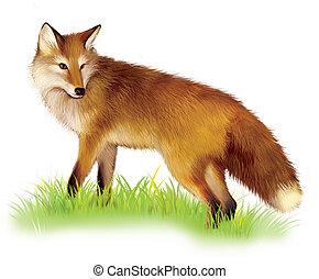 posición, peludo, zorro, pasto o césped, Adulto, rojo
