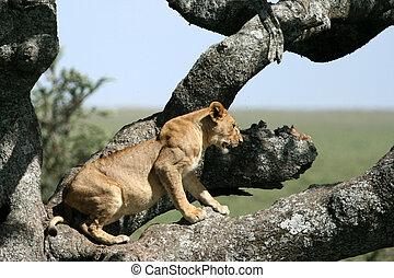 posiedzenie, serengeti, drzewo, -, lew, afryka