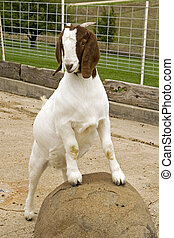 A posing, female South African Boer goat.
