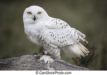 Posing on a rock - Snowy Owl patiently waiting on his rocky...