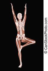positie, medisch, yoga, skelet, vrouwlijk