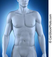 position, mann, anatomisch