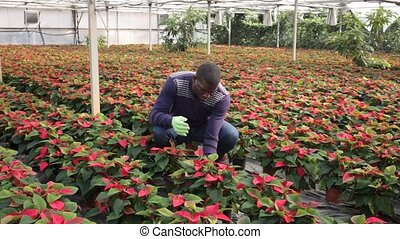 Portrait of African American male worker caring of Euphorbia pulcherrima plants at glasshouse farm