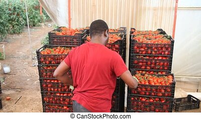 Positive Afro workman stacking boxes with harvested tomatoes...