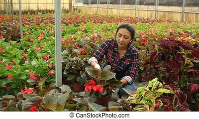 Young latino woman farmer working in garden center, checking seedlings of Begonia semperflorens