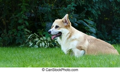 Positive puppy on the grass - Positive corgi puppy having...