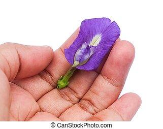possession main, beau, pourpre, pois papillon, fleur