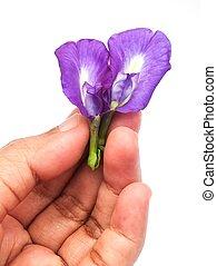 possession main, beau, pourpre, pois papillon, fleurs