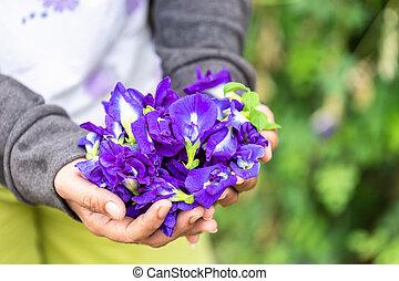 possession main, frais, pourpre, pois papillon, fleur