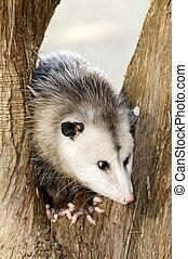 Possum in a Tree - A possum in a tree.