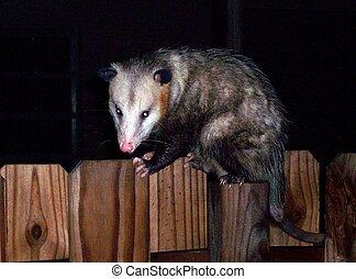 Possum on Fence - Possum caught walking on top of fence in...