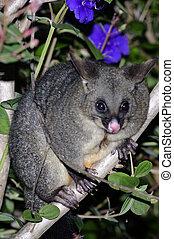 Possum - The Australian brushtailed possum sits on a forest...