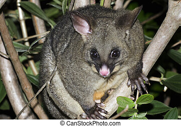 Possum - The Australian brushtailed possum sits on a forest ...