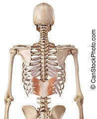 postérieur, serratus, inférieur