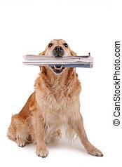 post dog, newspaper service - golden retriever with ...