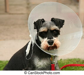 postoperative dog with cone on head