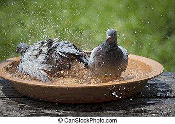 postagalamb, madár, fürdés, alatt, víz, tál