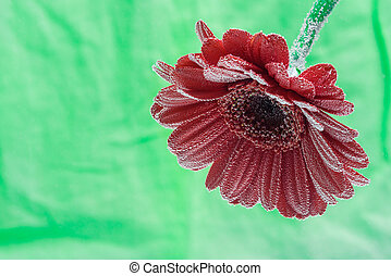 Postcard red gerbera flower closeup with water drops. soft green background