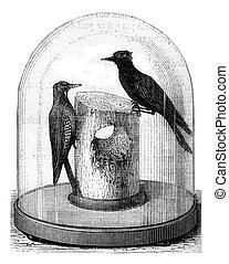 poste del telégrafo, pinchado, por, woodpeckers, vendimia, engraving.