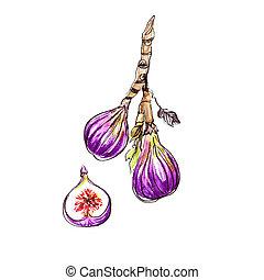 Fig - Poster illustration of Watercolor Fig Fruit Sketch....