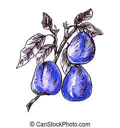 Plum - Poster illustration of Watercolor Plum Sketch. Line ...