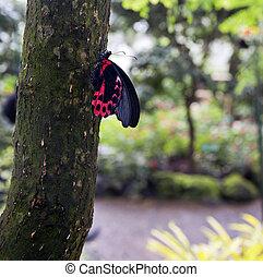 Postman Butterfly (Heliconius melpomene) resting on a tree...
