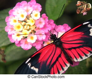 Postman longwing butterfly (Helicon - Feeding on a flower In...