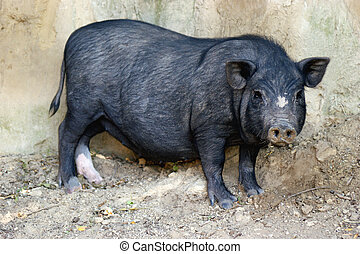 Pot-bellied pig in a sandy outdoor enclosure
