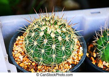 pot, cactus, vert