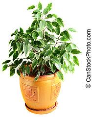 pot fleurs, ficus