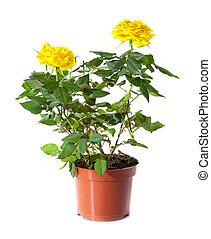 pot fleurs, plante, rose, floraison, isolé, jaune, blanc