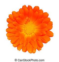 pot, -, isolé, orange, officinalis, calendula, blanc, souci
