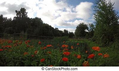 Pot marigold calendula in farm