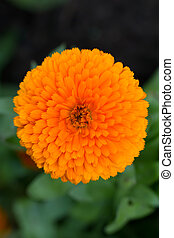 Pot Marigold (lat. Calendula officinalis)